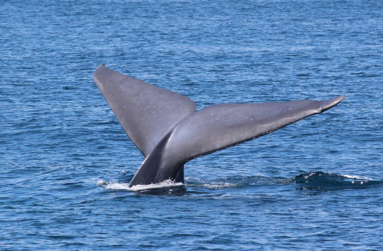 blue whale 3