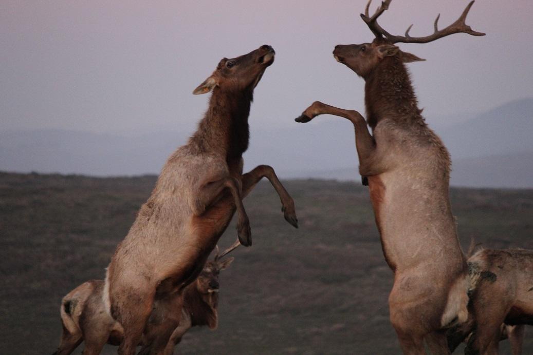 tule elk full moon